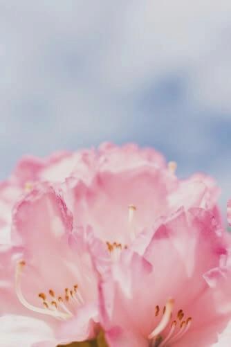 Photo gros plan sur les pétales d'une fleur rose